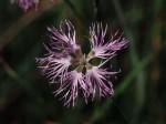 Dianthus superbus ou Oeillet superbe. Crédits Aster, Dominique Lopez-Pinot.