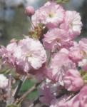 Prunus 'Daïkoku' crédit photo CCFU