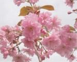 Prunus 'Hokusaï' crédit photo CCFU
