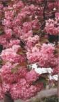 Prunus 'Kanzan' crédit photo CCFU