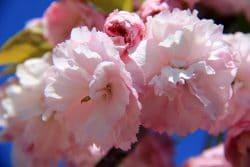 Prunus 'Daïkoku' au cimetière