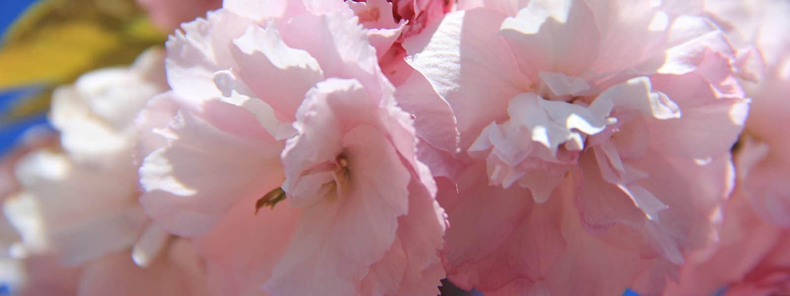 Cerisier du Japon dans le cimetière