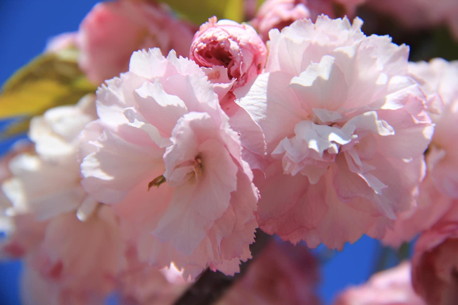 Cerisier-Japon-cimetiere